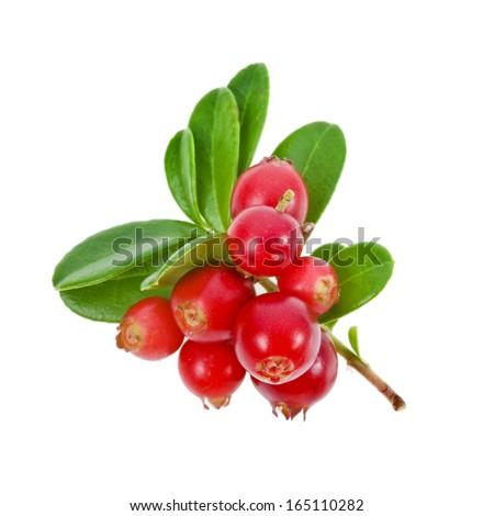 Cowberry Lingonberry (Vaccinium vitis-idaea) isolated on white background  #165110282