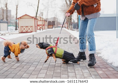 Aggressive, disobedient dog problems concept. Woman holding her disobedient dachshund on a leash, dog trying to attack another dog at a park Royalty-Free Stock Photo #1651176643