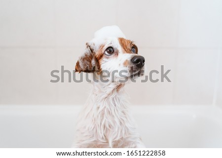 cute lovely small dog wet in bathtub, clean dog with funny foam soap on head. Pets indoors #1651222858