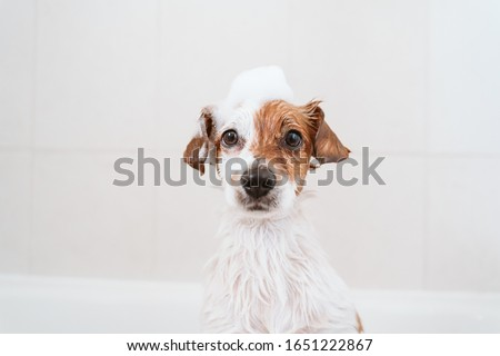 cute lovely small dog wet in bathtub, clean dog with funny foam soap on head. Pets indoors #1651222867