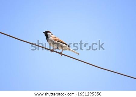 A house sparrow (Shomoro-Kaya). Unique birds pic