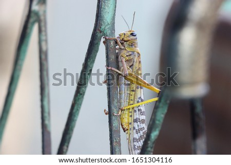 A beautiful Locust that firmly holds on a old wire mesh.