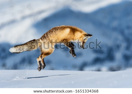 fox jumping to hunt for mouse in yellowstone hayden valley on snowy winter day #1651334368