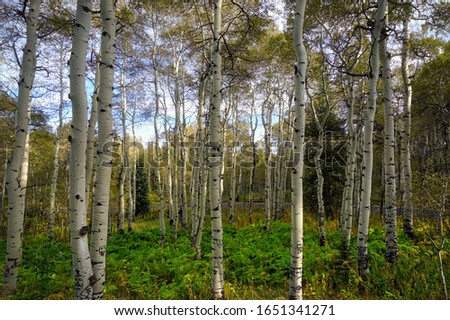 A high altitude Quaking  Aspen grove just begins to turn golden as fall approaches.                               Royalty-Free Stock Photo #1651341271