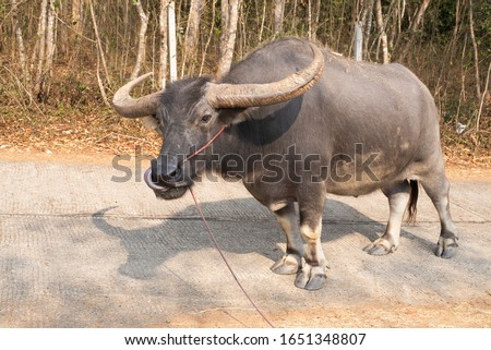 Thai buffalo or swamp buffalo has a large body Hardy black body In the picture is a male buffalo. Current state of extinction