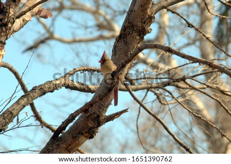 female northern cardinal perched on a tree branch under a sunny clear blue sky