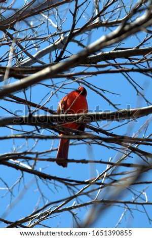 male northern cardinal above on a tree branch under a clear blue sky