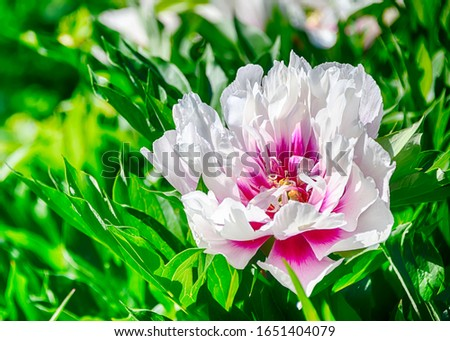 Beautiful white and pink flowers blooming in the spring. Green leaves and branches background. Blurred background. Intense. Very vibrant and colorful nature image. Flower and landscape photography