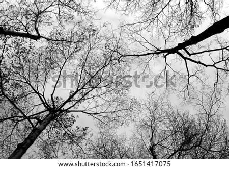 Image of dry winter branches of fallen leaf tree, shot from bottom to sky at noon. Dry winter tree branch background to sky background texture (black and white photo) #1651417075