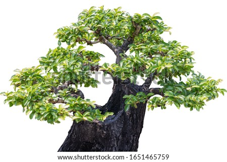 Tako tree bending on isolate white background.Bonsai Ebony element tree for decorate architect design on white background.