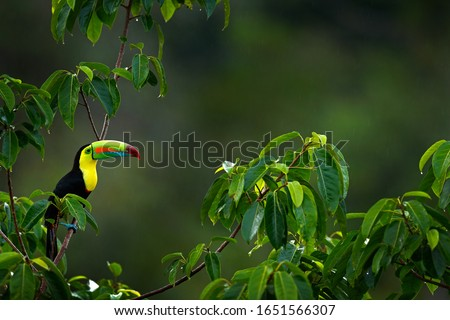 Bird in habitat. Keel-billed Toucan, Ramphastos sulfuratus, bird with big bill sitting on branch in the forest, Costa Rica. Nature travel in central America. Beautiful bird in nature habitat.