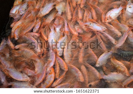 this pic show a lot of red tilapia fish swim and motion in water