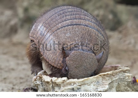 armadillo close up portrait while eating