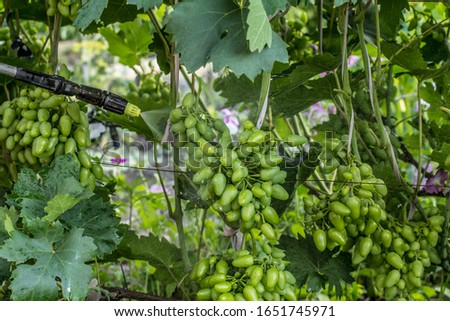 Farmer is protecting grape bushes from fungal disease or vermin with pressure sprayer and chemicals in the garden. Seasonal grooming. #1651745971