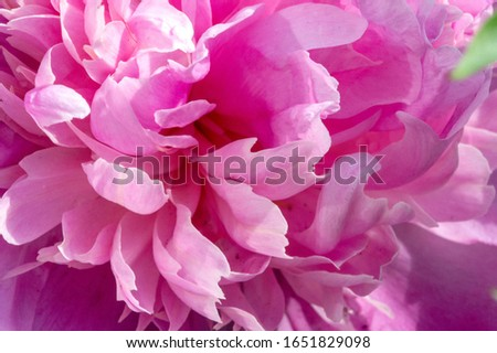Peony or paeony is a flowering plant in the genus Paeonia, the only one in the family Paeoniaceae. native to Asia, Europe and Western North America. are among the most popular garden plants #1651829098