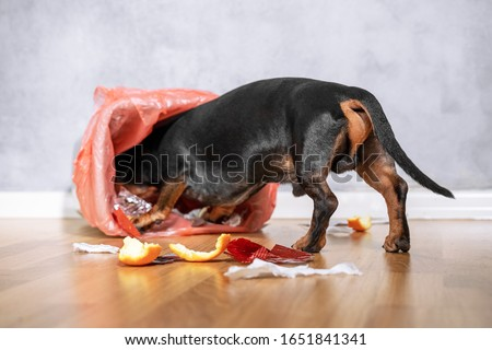 Cute dachshund dog, black and tan,  pushed and climbed into the garbage can at home. naughty puppy.  #1651841341
