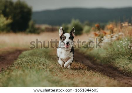dog breed corgi cardigan in nature #1651844605