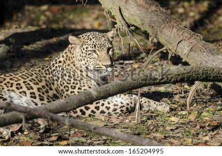 Persian Leopards #165204995