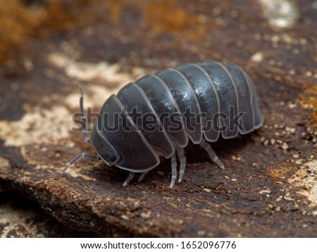 Terrestrial isopod (Armadillo officinalis) commonly called the oak-woodland pillbug or plain pill woodlouse, on bark, 3/4 view. This species can roll itself into a tight ball to protect itself Royalty-Free Stock Photo #1652096776