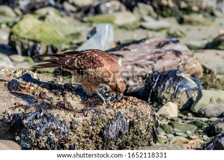 Chimango Caracara (Milvago chimango) in Ushuaia area, Land of Fire (Tierra del Fuego), Argentina #1652118331