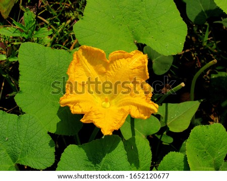 yellow pumpkin flower in the field. pumpking, winter squash, gourd & squash  #1652120677