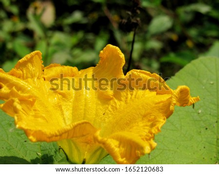 yellow pumpkin flower in the field. pumpking, winter squash, gourd & squash  #1652120683