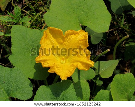 yellow pumpkin flower in the field. pumpking, winter squash, gourd & squash  #1652123242