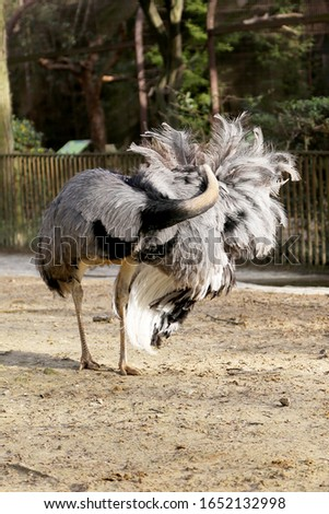One great white bird ostrich of feathers stand on long thin legs. Ostrich body consisting of beautifully arched neck on bird, feathers for ass. Bird ostrich likes to all show wonderfully feathers. #1652132998