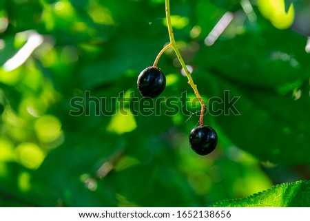 Berries of a bird cherry on a branch. two berries. berries pecking berries. #1652138656