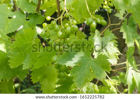Bunch of grapes ripening on vine stock during summer