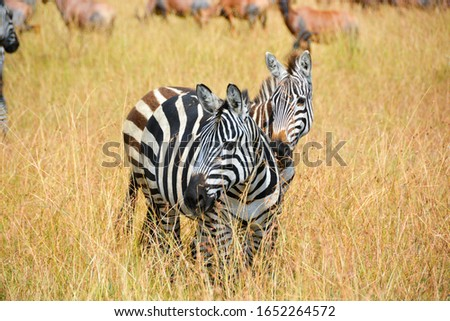 Zebras on the plains of the serengeti  #1652264572