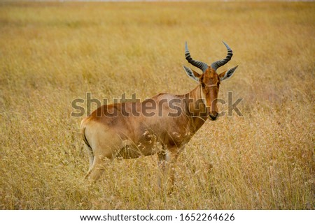 East African Topi on the plains of the Serengeti #1652264626