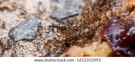 fire ants feeding on meat in australia
