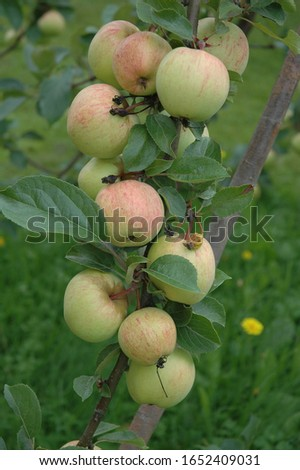 Apple tree branches filled with apples. Picture taken in Finland
