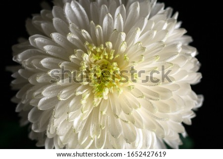 Close-up chrysanthemum flower with drops of water on the petals on a black background, petals texture #1652427619