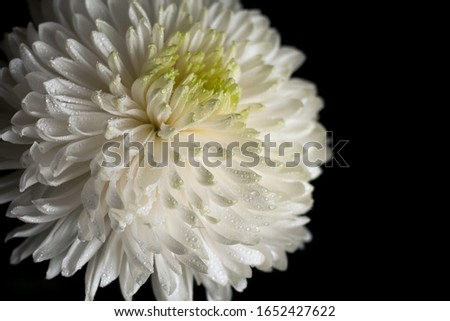 Close-up chrysanthemum flower with drops of water on the petals on a black background, petals texture #1652427622