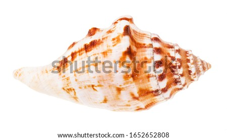 conch of sea mollusk isolated on white background #1652652808