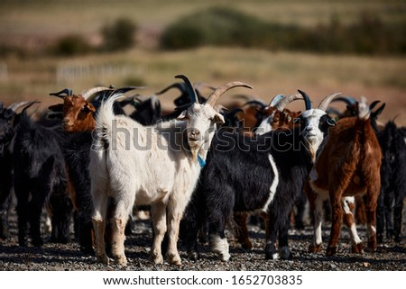 Mongolian goats. Source of meat, milk and wool. Goat Cashmere and cheese have become favorite Souvenirs of tourists. #1652703835