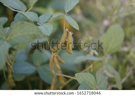 Soybean plants with blurred background. Soybean is an economic crop in Thailand. #1652718046