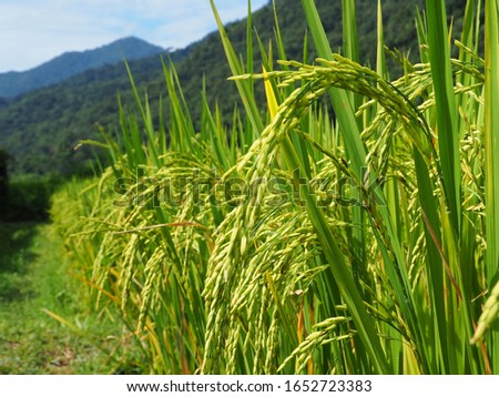 The ears of green rice fields in the paddy fields by the mountains #1652723383