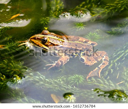 Beautiful image of a brown frog on water body #1652736784