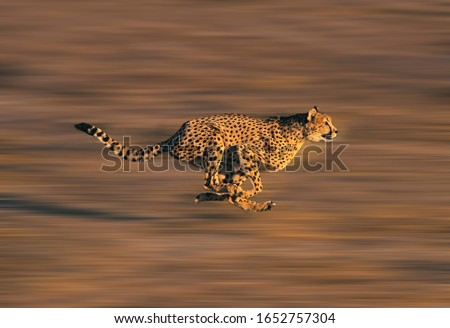 CHEETAH acinonyx jubatus, Adult running through Savannah   #1652757304