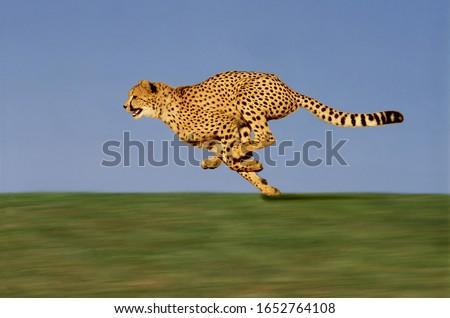 CHEETAH acinonyx jubatus, Adult running through Savannah  #1652764108