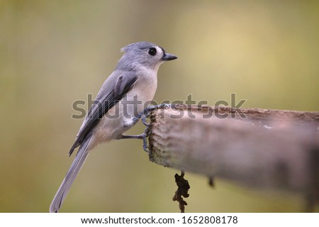 This is a Tufted Titmouse backyard bird.  This is an excellent picture to depict Spring or Fall weather.  It also highlights the beautiful simplicity and peacefulness of nature.