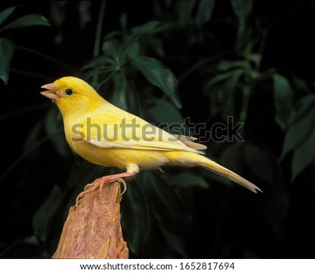 Malinois Canary or Song Canary Singing   #1652817694