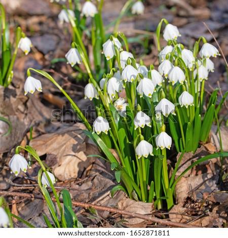 Blossoming spring knot flowers, leucojum vernum #1652871811