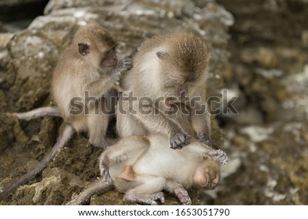 A monkey looking for louse in another monkey's fur on a blurred background