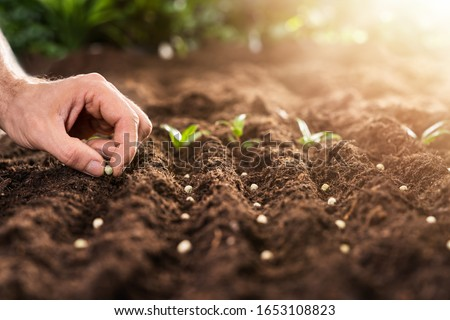 Farmer's Hand Planting Seeds In Soil In Rows