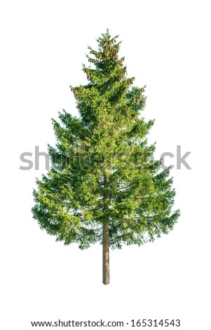 green fir isolated on white #165314543