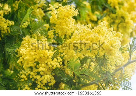 Mimosa tree with bunches of fluffy tender flowers of it. Background of yellow mimosa tree. Concept of holidays and mimosa flower decoration.  #1653161365